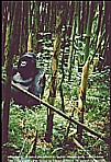 1991/92_RUANDA_GORILLA_near Dian Fossey´s_what a feeling_3 were a bit aggressive, see my short movie at YouTube